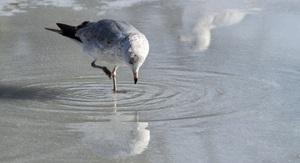 Чайка ищет пропитание