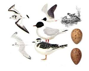 Чайка речная - взрослые птицы и яйца