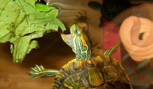 Чем кормить красноухих черепах