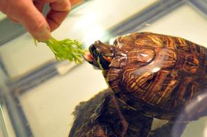 Как часто надо кормить красноухую черепаху