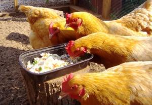 Чем кормить курицу-несушку