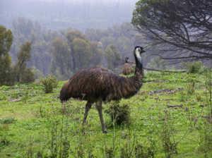 Птица эму очень похожа на страусов - она крупная, ее вес достигает 50 кг