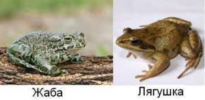 Жаб и лягушек часто путают, как научиться их различать?