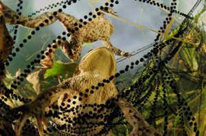 Жабы откладывают икру в виде ниточек, напоминающих бусы
