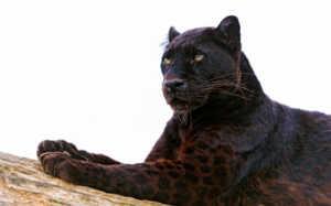 Шкура пантер может иметь пятна и различные оттенки