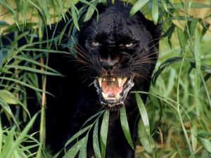Рев пантеры слышен на большом расстоянии