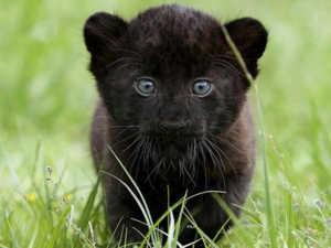 Пантера - заботливый родитель, ее детеныши под надежным присмотром