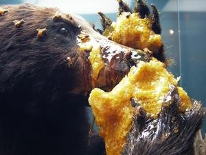 Что едят медведи в лесу