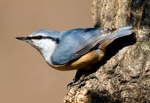 Птица поползень обыкновенный