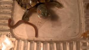 Черепаха ест червя - интересные фото