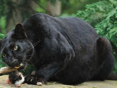Чёрный леопард: описание вида