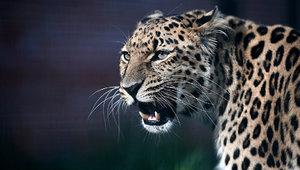 Дальневосточный леопард – что это за животное