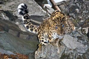 Дальневосточный леопард – особенности внешнего вида
