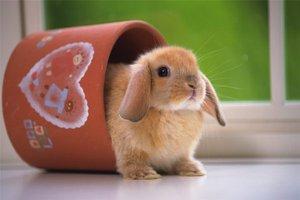 Карликовый кролик дома - необычные животные