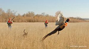 Разведение и выращивание домашних фазанов