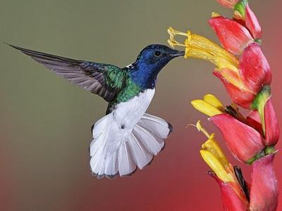 Где обитает птица колибри, каков ее размер, особенности