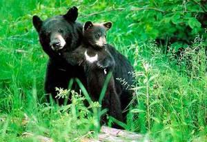 Какой образ жизни ведут медведи
