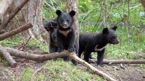 Уссурийский медведь