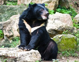 Как питается белогрудый медведь