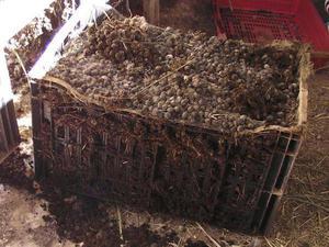 Применение кроличьего навоза как удобрение