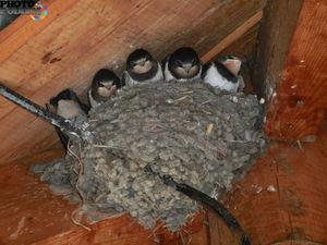 Гнездо ласточки под коньком дома