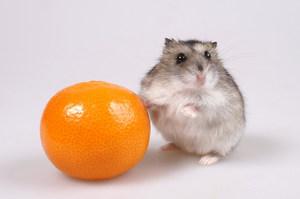Хомячок и апельсин