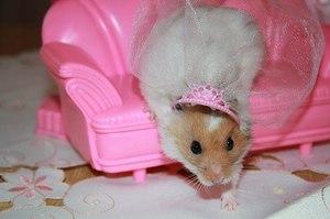 Хомяк принцесса