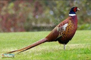 Как поймать фазана: