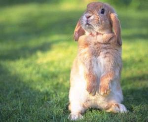Отбор кроликов для забоя на мясо
