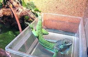 Уход за ящерицей дома