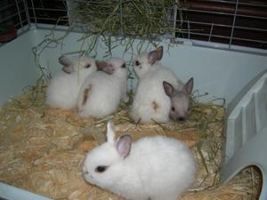 Декоративные кролики в домашних услвоиях