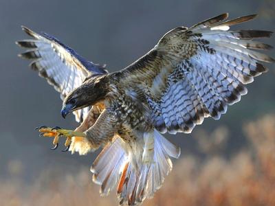 Как выглядит и чем питается птица сокол