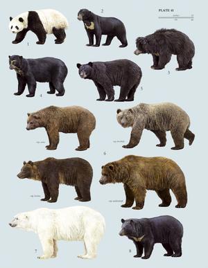 Какие бывают медведи