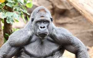 Обезьяна горилла