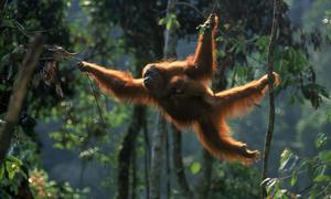 Обезьяна орангутан