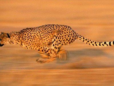 Какое животное в мире самое быстрое животное