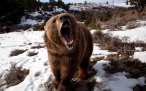 Медведь гризли - скорость бега