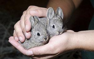 Когда можно сажать крольчат отдельно от матери
