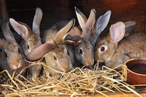 Способы отсаживания крольчат
