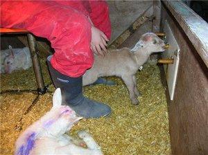 Чем кормить козлят