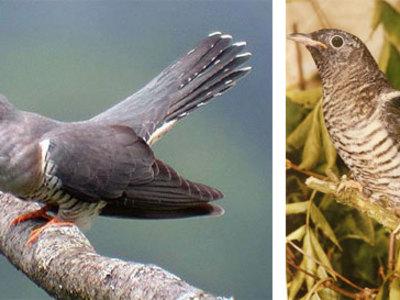 Краткое описание птицы кукушка обыкновенная
