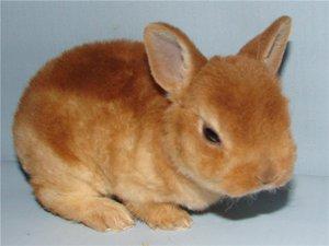 Карликовые кролики - декоративные породы