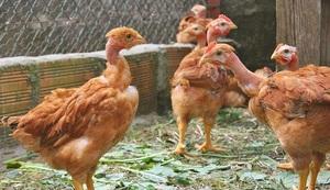 Курицы-голошейки