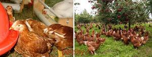Описание породы кур