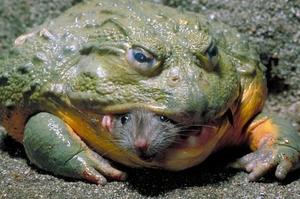 Большая зеленая лягушка-голиаф – что это за вид