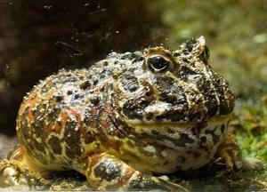 Лягушка-голиаф – необычные земноводные