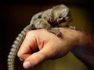 Мармозетка самая маленькая обезьянка