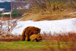 Медведь Гризли или ; питание и размножение