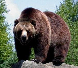 Медведь Гризли или серый медведь: питание, размножение, где обитают