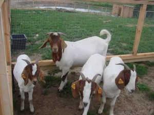 Преимущества разведения коз